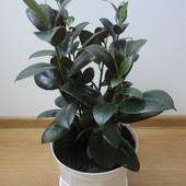 Ficus sprężysty