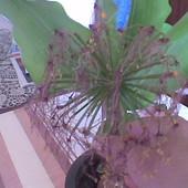 Krasnokwiat Katarzyny