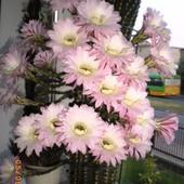 Mój kaktus