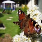 Motyle na tawule jarzębolistnej