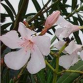 Oleander W Deszczu