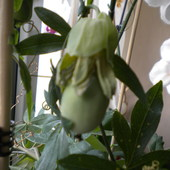 Owoc passiflory