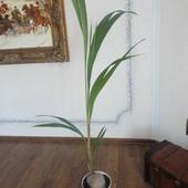 Palma kokosowa (Cocos nucifera)