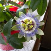 Kwiat  passiflory