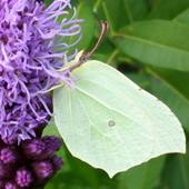 Przyciąga motylki...