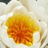 rozkwitają pierwsze lilie wodne   - nenufary