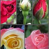 W maleńkiej róży.......