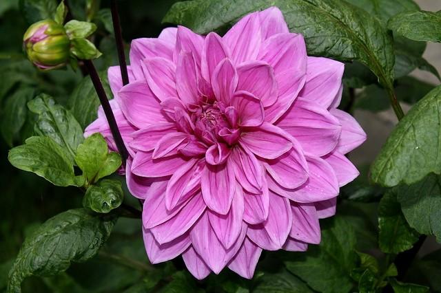 Dalia dekoracyjna Babylon Rose