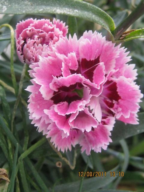 Dianthus nadal kwitnie ale jak pachnie!