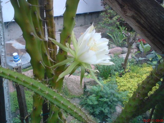 I w tym roku znów zakwitła-Królowa Nocy-Selenicereus grandiflorus