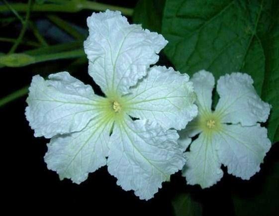 Kwiaty Tykwy.