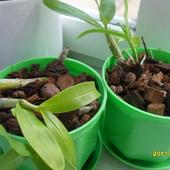Dendrobium ,młodziutkie (storczyk)