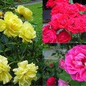 Drugi rzut obfitego kwitnienia róż