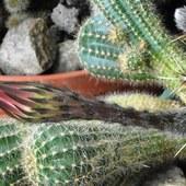 Echinopsis:)