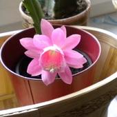 Epiphyllum phyllantoides