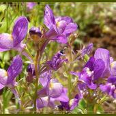 fiolety w słońcu