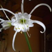 Kwiat Ismeny