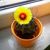Kaktus - Astrophytum