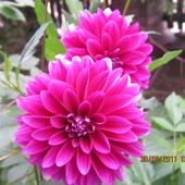 Koleine kwiaty tej odmiany