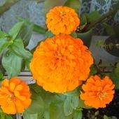 Pomarańczka i ...mandarynki :)