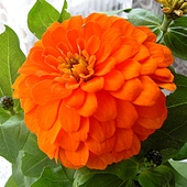 Pomarańczka