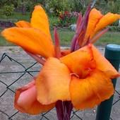 Pomarańczowa kanna