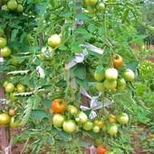 Pomidory.