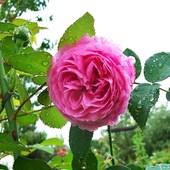 Róża .