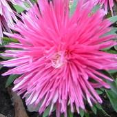 Różowe astry...