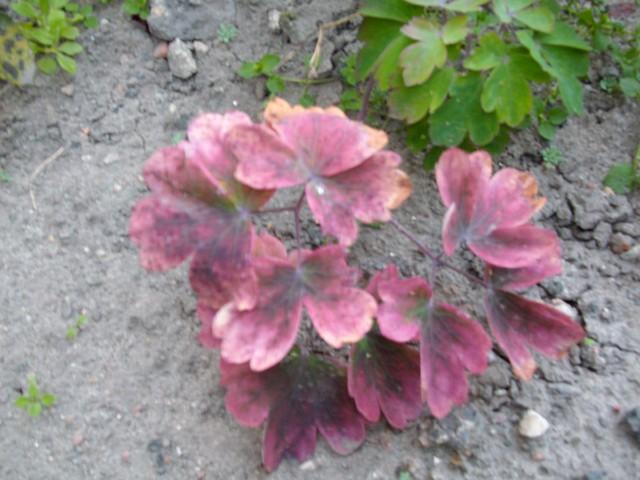 Orlik przebarwił już liście