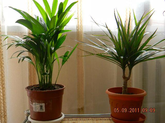 Palma Areca i Dracena