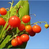 dojrzały już owoce ...........