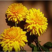 kwiaty jesieni .............