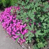 Nie znam nazwy tych kwiatkow