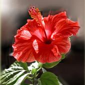 Róża chińska - hibiskus