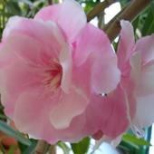 To już ostatni kwiatek oleandra