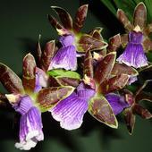 Zygopetalum mackai