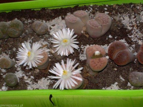 a to coś co pierwszy raz widzę:) bardzo mnie zaciekwiły kwitnące grzybki hehe...:))