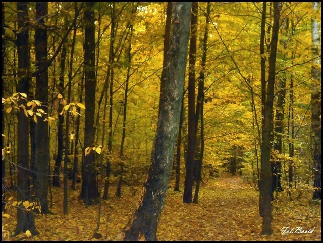 W lesie kabackim...się złoci