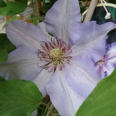 Clematis-''The First Lady''.