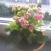 Kalanchoe różowe ;)