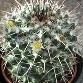 Mammillaria karwinskiana:)