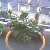 Moje róże minaturowe ;)