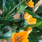 Ornitogalum Dubium-''Star of Bethlehem''