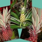 Oto ananasy różowe po bokach a zielony w środku/doniczkowe/.