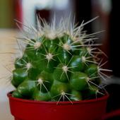 Echinocactus Grusona