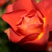 Różyczka