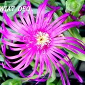 Słonecznica różowa-popularnie zwana Deo.