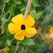 Tunbergia samoczepna-kwiat.