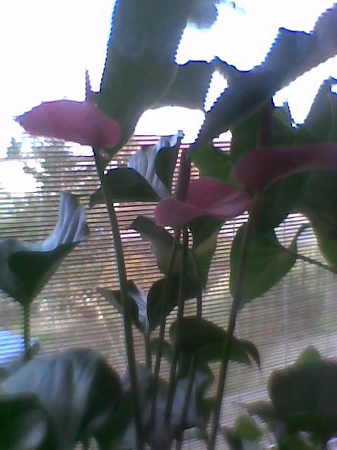 Anturium pink